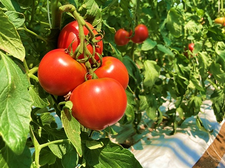コテラトマト1